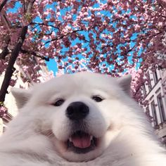35 Samoyed Saturday Samoyed Photos Who doesnt love cute dogs and Samoyed are some of the cutest. Cute Funny Animals, Cute Baby Animals, Animals And Pets, Animals Photos, Animal Pictures, Cute Puppies, Cute Dogs, Dogs And Puppies, Doggies