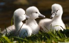 Swan, Animal, Cute
