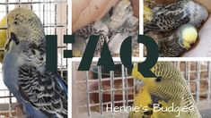 Frequently asked questions about budgies. Questions asked most often before considering this hobby. Budgies, Parrot, Bird, This Or That Questions, Animals, Parrot Bird, Parakeets, Animales, Animaux
