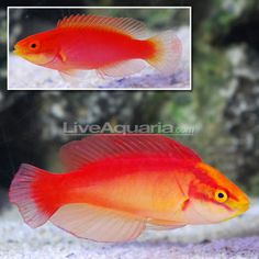 16 Best Fish Images Saltwater Aquarium Saltwater Tank Coral Aquarium