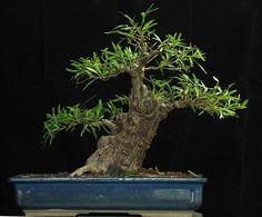 Ficus N sumo Jim Smith.