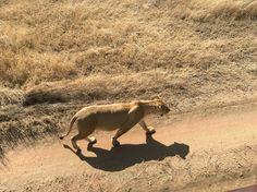 Leona en Reserva Masai Mara, kenia