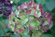 hydrangea care how to grow . hydrangea care tips . Hydrangea Potted, Hydrangea Bloom, Hydrangea Care, Hydrangea Color Change, Hydrangea Colors, Garden Shrubs, Flowering Shrubs, Succulent Gardening, Flower Gardening