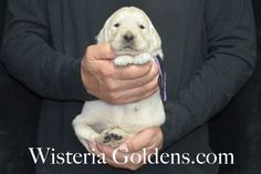 Piper Litter Black Boy - 5.8 lbs 3 weeks pictures Piper-Ego Litter born 11/02/2015 English Cream Golden Retriever Puppies for sale at WisteriaGoldens.Com