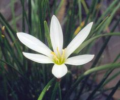 Rain Lily    This crocus look-alike offers charming flowers in shades of red, pink, and white. They appear in autumn, giving the garden a punch of color after the long, hot season.    Name: Zephyranthes candida    Growing Conditions: Sun to part shade and moist, well-drained soil    Size: To 18 inches tall    Zones: 7-10