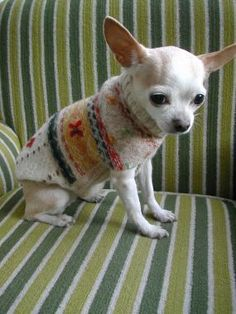 An old sweater upcycled into a doggie sweater. Love the idea, but it was the Chihuahua that I liked best. Old Sweater, Dog Sweaters, Sweater Vests, Knit Dog Sweater, Jumper, Moda Animal, Pullover Upcycling, Alter Pullover, Recycled Sweaters