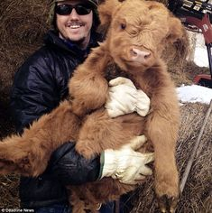 A cuddly Scottish Highland Calf Cute Baby Animals, Animals And Pets, Funny Animals, Wild Animals, Highland Calf, Mini Highland Cow, Miniature Highland Cattle, Really Big Dogs, Scottish Cow