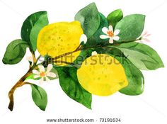 Lemon branch. Watercolor painting - stock photo