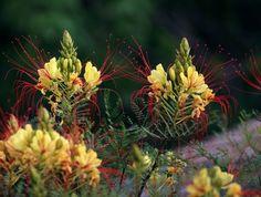 Цезальпиния Гиллеса (Caesalpinia gilliesii)