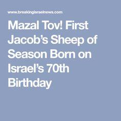 Mazal Tov! First Jacob's Sheep of Season Born on Israel's 70th Birthday