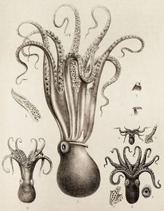 vintage illustration, squid and at least one octopus.