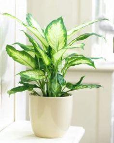 Dieffenbachia A luz ambiente é suficiente para este tipo de planta. O melhor é colocá-la atrás de uma cortina. Na primavera-verão, novas folhas aparecem e ela deixa o ambiente super bonito.jar