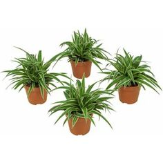 Slechte nachtrust? Deze 5 planten zorgen ervoor dat je beter slaapt - Alles om van je huis je Thuis te maken | HomeDeco.nl Chlorophytum, Green Bubble, Spider Plants, Planter Pots, Bubbles, Ocean, Om, Products, The Ocean