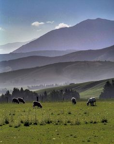 New Zealand sheep graze in a pasture on the road from Queenstown to Te Anau Te Anau, Australia Travel, Farm Animals, Countryside, Sheep, The Good Place, Vacation, Explore, Wool Carpet