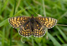 Heath Fritillary - Wild Ones, Wildlife, Nature, Butterfly, Animals, Naturaleza, Animales, Animaux, Animal