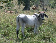 Zebu Cattle