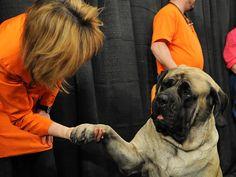 #English #Mastiff / #Mastiff #dog #canine #pet #cute
