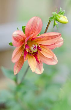 Jescot  Julie dahlia. Each ray floret (petal) has a burnt orange upper surface with a contrasting rich plum coloured base, creating a striking bloom.
