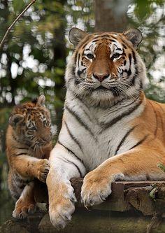 Tiger and Cub | Flickr - Photo Sharing!
