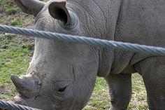 Dublin Zoo rhinoceros
