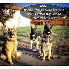 Mail man GSD's