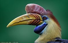 From first appearance it would be easy to think this animal is from some tropical location. But this Sulawesi Wrinkled Hornbill is from Lower Saxony in Germany