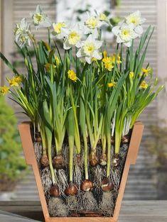Planting Bulbs In Spring, Spring Flowering Bulbs, Garden Bulbs, Spring Plants, Spring Bulbs, Garden Pots, Planting Flowers, Shade Garden, Roses Garden
