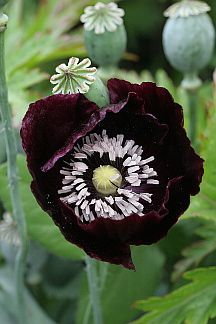 Papaver somniferum (Paeoniiflorum Group) poppy 'Black Beauty'- stunningly beautiful. Near black fully double flowers rise on tall stems. And after the flower the seed heads form which look similarly wonderful. This hardy annual grows 2-3' tall and flowers from June-August. Growing in full sun, It is an excellent attractant and nectar source for bees and other beneficial insects.