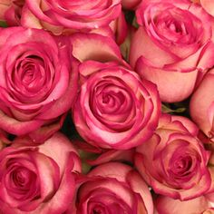 Get Raspberry Ice Carrousel Roses at wholesale prices. This rose has a large head and displays a bi-colored white and dark raspberry pink, ruffled petals.