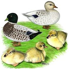 Snowy Call Ducks. These are probably my favorite call duck color so far. So cute but I heard they won't get along with other duck breeds during mating season. Call ducks are seasonal layers.