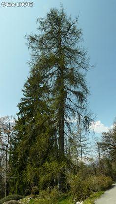 Pinaceae - Larix decidua - Mélèze d'Europe, Mélèze commun