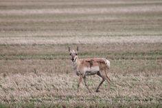Antelope 15 miles west of Regina