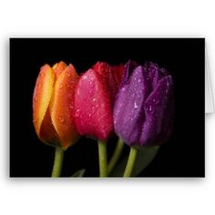 Three Colours Tulips Cards