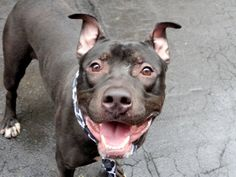 TO BE DESTROYED – 04/06/15 Manhattan Center My name is CHAOS. My Animal ID # is A1031890. I am a male black and white pit bull mix. The shelter thinks I am about 11 MONTHS old. I came in the shelter as a OWNER SUR on 04/01/2015 from NY 10474, owner surrender reason stated was PERS PROB.