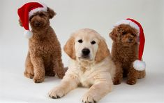 Christmas, New Year, dogs, Poodle, Golden Retriever, puppies, year dog concepts