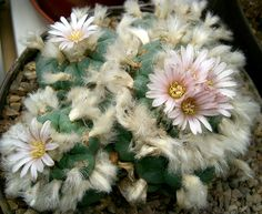 Lophophora williamsi---Certainly has pretty flowers, but the mescaline it contains is my main interest. I just love the stuff. All my experience with it has been positive. It stimulates me and makes me feel very happy. EVERY TIME that I've used it.   Charles Yeary      cyeary70@yahoo.com