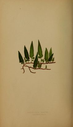 NATIVE OF NEW ZEALAND - from the book, Ferns: British and exotic..., By E.J. Lowe... Published 1856. http://openlibrary.org/books/OL24780888M/Ferns_British_and_exotic...