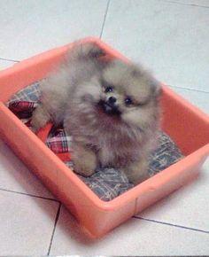pomeranian puppy - way too cute!
