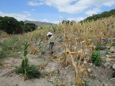 Honduras:  Darán asistencia a más de 26,000 familias afectadas por la sequía  El Programa Mundial de Alimentos hará una inversión de 7.8 millones de dólares en la zona del corredor seco hondureño. La sequía ha causado estragos en las cosechas de los poblados del corredor seco debido al cambio climático.