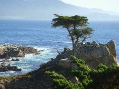 uma das mais lindas e majestosas árvores do mundo- Lone Cypress em Monterey