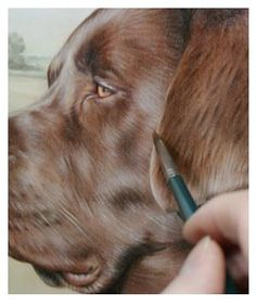 chocolate labrador pet portraits in progress