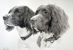 """Commission - Springer Spaniels Luci and Max by Captured-In-Pencil.deviantart.com on @deviantART This is 'Luci' and 'Max', two beautiful Springers. They were drawn 20""""x16"""" from a highly detailed photo. Mechanical pencils 0.3mm, 0.5mm and 0.7mm HB and 2B. Lots of cotton wool, tortillions and several rubbers. Was drawn on A3 heavy-weight cartridge paper, with the finished drawing measuring 20""""x16"""". Drawing time 19 1/2 hrs over a week and a half. Completed July 2014."""