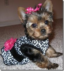pretty puppy.. I'm dressing my puppies!