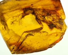 During the age of the dinosaurs, three tiny mantises became engulfed in glops of sticky amber and stayed there, preserved, until researchers discovered the entombed critters millions of years later.