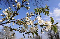 Remedii uzuale cu FLORI de CIREȘ pentru afecțiuni și boli comune Spirituality, Plant, Varicose Veins, Spiritual