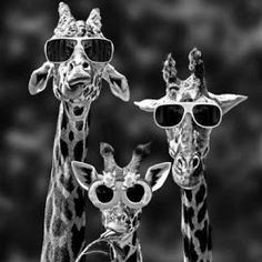 Giraffes with sunglasses!  My life is complete.  Olivia, I hope you are happy.  :)