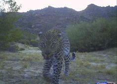 This inquisitive leopard was caught by a camera trap in the Cederberg. What a beautiful specimen!