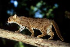 Captive at Port Lympne Wild Animal Park, UK Small Wild Cats, Small Cat, Big Cats, Cats And Kittens, Sri Lanka, Rusty Spotted Cat, Wild Cat Species, Animals Beautiful, Cute Animals