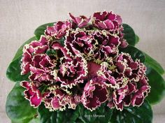Saintpaulia, Live Plants, Houseplants, African Violet, Floral Wreath, Ukraine, Beautiful, Gardening, Gallery