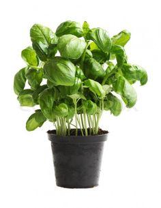 Plantas que Evitam o Mau-Olhado 2